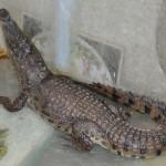 Nubisk_landsby_krokodille